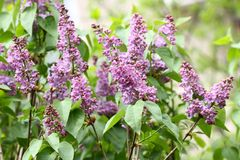 Lila Lilas, syringa o jeringuilla Flores púrpuras coloridos de las lilas con las hojas verdes Modelo floral Textura del fondo de  Imagen de archivo libre de regalías