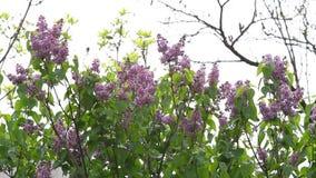 lila Lilor eller injektionsspruta med sånger av lösa fåglar Färgrika purpurfärgade lilor blomstrar med gröna sidor yellow för mod lager videofilmer