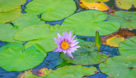 Lila lily. Lily purple present on one of the lakes in Asia Stock Photography