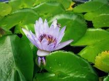 Lila lotusblomma Arkivbild
