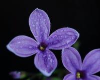Lila macra de la flor fotos de archivo libres de regalías