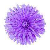 Lila maskros för blomma som isoleras på vit bakgrund knoppcloseblomma upp element för klockajuldesign arkivfoto