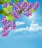 Lila Niederlassung auf einem Hintergrund des blauen Himmels mit Wolken Lizenzfreie Stockfotos