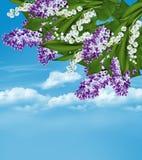 Lila Niederlassung auf einem Hintergrund des blauen Himmels mit Wolken Stockfoto