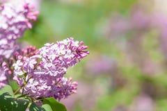 Lila Niederlassung gegen einen Busch - Nahaufnahmephotographie im Freien der schönen Frühlingsblume Stockbilder