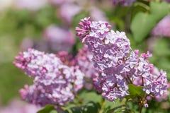 Lila Niederlassung gegen einen Busch - Nahaufnahmephotographie im Freien der schönen Frühlingsblume Lizenzfreie Stockfotografie