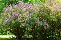 Lila o lila común, Syringa vulgaris en flor Crecimiento de flores púrpura en arbusto floreciente de la lila en parque Fotos de archivo libres de regalías