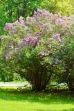 Lila o lila común, Syringa vulgaris en flor Crecimiento de flores púrpura en arbusto floreciente de la lila en parque Fotografía de archivo libre de regalías