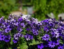 Lila- och blåttgerbertusenskönor på en solig vårdag Arkivbilder