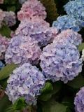 Lila- och blåttvanliga hortensior Royaltyfria Bilder