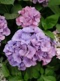Lila- och blåttvanliga hortensior Royaltyfri Foto