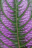 Lila- och gräsplanblad royaltyfri bild