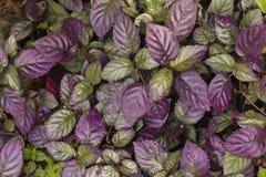 Lila- och gräsplanblad Royaltyfria Foton
