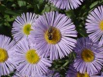 Lila- och gulingblommor för Erigeron (sjösidatusensköna) med biet Arkivfoto