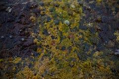 Lila- och gulingbotten av havet i grunt Royaltyfria Bilder