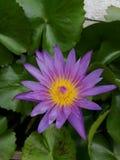 Lila- och gulinglotusblommablomma royaltyfria foton