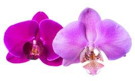 Lila och violetta orkidér isoleras på den vita bakgrunden Arkivfoton