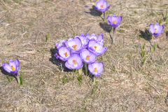 Lila och vit krokus i öppet fält Royaltyfria Bilder
