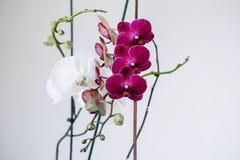 Lila och vita orkidér Inflorescence av purpurfärgade och vita orkidéblommor på filialerna med sidor arkivfoton