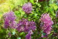 Lila oder gemeine Flieder, Syringa gemein in der Blüte Verzweigen Sie sich mit dem purpurroten Blumenwachsen auf lila blühendem S Stockbilder
