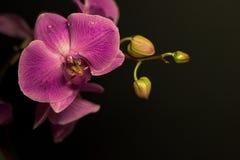lila orchid Fotografering för Bildbyråer