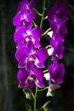 lila orchid Royaltyfri Fotografi