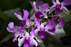 lila orchid Royaltyfri Foto