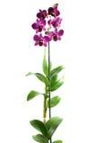 Lila orchidea Fotografia Royalty Free