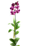 Lila Orchidee Lizenzfreie Stockfotografie