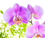 lila Orchidee mit dem Blattfarn, lokalisiert auf weißem BAC Lizenzfreies Stockfoto