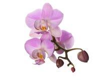 Lila Orchideenblume auf einem weißen Hintergrund Stockfotografie