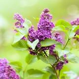 Lila púrpura imagen de archivo libre de regalías