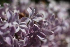 Lila púrpura Imagen de archivo