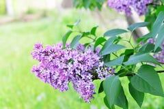 Lila púrpura fotos de archivo