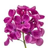 Lila púrpura de la flor, Syringa vulgaris, aislada en el backgro blanco foto de archivo libre de regalías