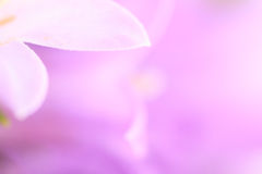 Lila petal flower background. Royalty Free Stock Image