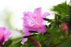Lila petunia fotografering för bildbyråer