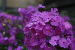 Lila phlox Royaltyfria Bilder