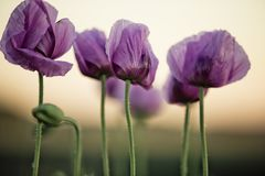 Lila Poppy Flowers Lizenzfreie Stockfotos