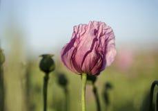 Lila Poppy Flowers Stockfotos