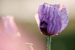 Lila Poppy Flowers Lizenzfreies Stockfoto