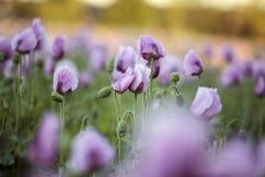 Lila Poppy Flowers Lizenzfreies Stockbild