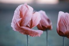 Lila Poppy Flowers Stockbilder