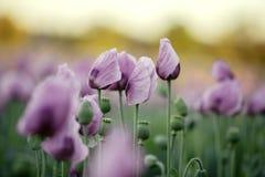 Lila Poppy Flowers Lizenzfreie Stockfotografie