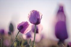 Lila Poppy Flowers Stockfoto