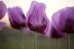 Lila Poppy Flowers Stockfotografie