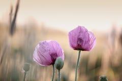 Lila Poppy Flowers Stockbild