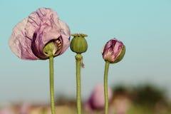 Lila Poppy Flowers Foto de archivo libre de regalías