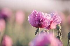 Lila Poppy Flowers Imágenes de archivo libres de regalías