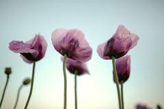 Lila Poppy Flowers Fotos de archivo libres de regalías